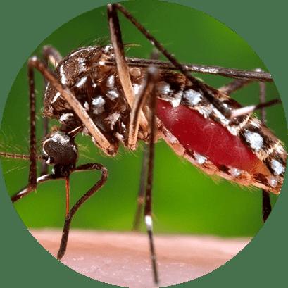 Dedetização e Controle de Mosquitos e Pernilongos - Curitiba