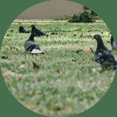 Controle e Manejo de Pombos - Curitiba