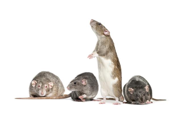 Livre-se dos ratos através da desratização