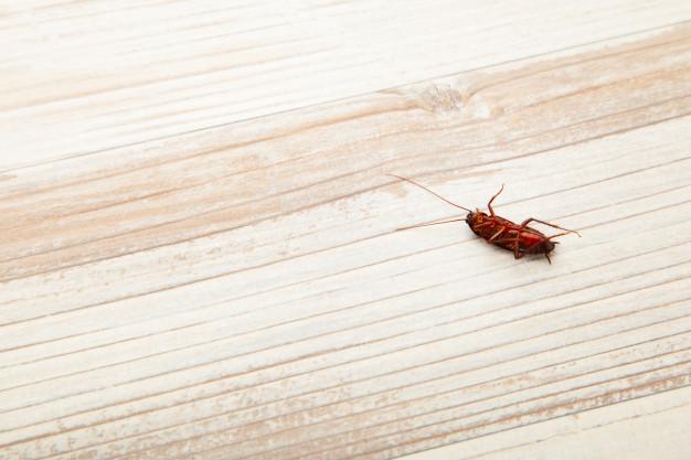 Dedetização de baratas: conheça as principais espécies dessa praga