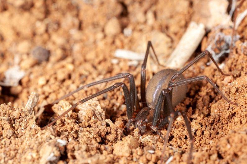 Cuidado! A picada da aranha-marrom pode ser fatal