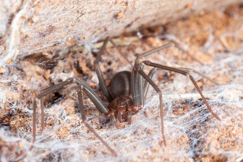 Dedetização de aranha-marrom: como funciona o serviço?